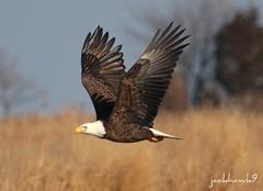 Bald Eagle (jackhawk9) Tags: nature birds canon newjersey eagle wildlife ngc baldeagle raptors haliaeetusleucocephalus southjersey birdsofprey edwinbforsythewildliferefuge jackhawk9
