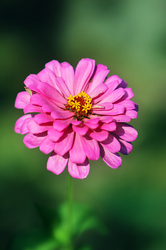 Small Pink Zinnia
