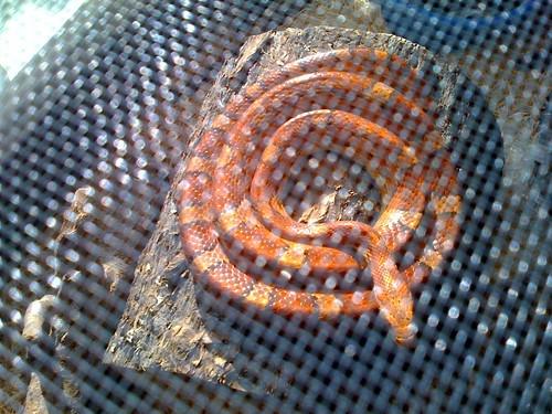 Dad's corn snake