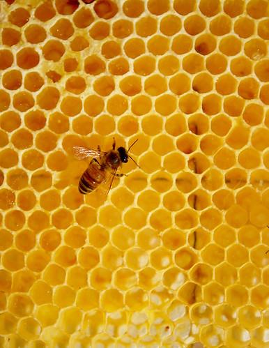 Lone honeybee