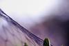 ...looking for someone I left behind... (jewelflyt) Tags: morning light macro net leaf lyrics purple bokeh netting processed davidgray hpps flameturnsblue perfectpurplesaturday attemptingtokeepthebirdsfromeatingallourapples