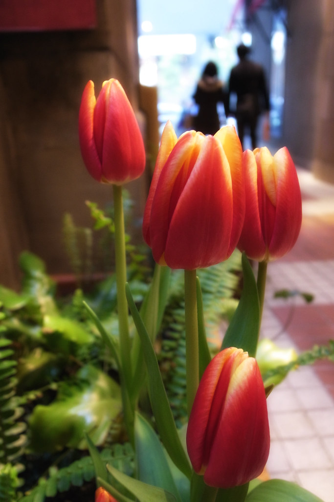 Tulips and Lovers