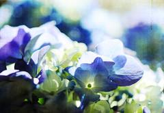 p r o m i s e (anniedaisybaby) Tags: flowers blue sunlight petals spring purple bokeh fresh hydrangea pottedflowers bigleafhydrangea hbw hmacrophylla