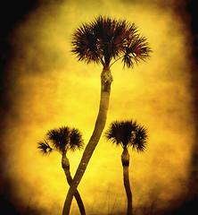 Mnage  Trois (jackaloha2) Tags: nature photoshop stpetersburg florida palmtrees layers seagrass mnagetrois texturedlayers artofimages saariysqualitypictures bestcapturesaoi magicunicornverybest jackaloha2 mygearandme mygearandmepremium