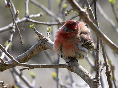 House Finch (PeeWee57) Tags: red wild usa male nature animal closeup wow garden march spring pretty texas feeding zoom critter wildlife picture feeder olympus finch creature redheaded housefinch 2010 e420