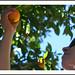 Melissa picking oranges