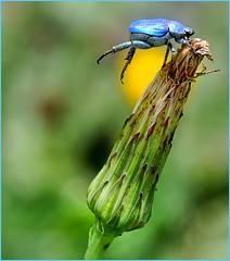 Hoplie bleue acrobate - Vaison-la-Romaine (Vaucluse) (Charlottess) Tags: provence vaucluse scarabée hoplie