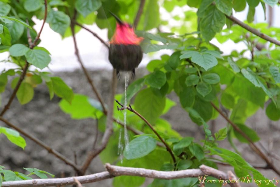 Anna's Hummingbird 060811-2