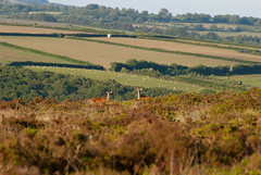 evening view (devonteg) Tags: trees june nikon sheep heather antlers fields bracken reddeer exmoor stags gorse 2011 d80 18135mm haddonhill