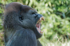 zoo-amneville-gorille (RG-Photo.fr) Tags: france lorraine parc moselle gorille animalier amnville hagondange