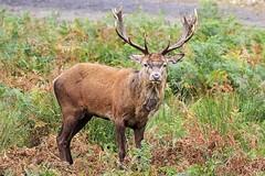 Former Alpha (Jomak1) Tags: park red london field grass canon season october stag natural richmond deer antlers pasture buck habitat rutting cervus elaphus