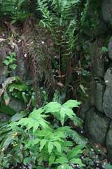 Polygonatum multiflorum & Dryopteris filix-mas (bulbinello) Tags: fern garden ferns farne fougres fougre polystichum varens osmunda dryopteris blechnum athyrium osmonde