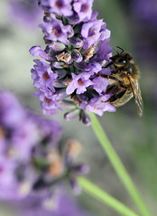 a bee busy on lavender (grumpybaldprof) Tags: flowers light sun plant france flower colour green texture floral beauty contrast leaf petals stem lavender veins bud honfleur shape sheen normandy hue promise intensity