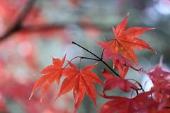 Japanese Maple (Mah Nava) Tags: autumn autumnfoliage red tree rot leaves maple herbst fallfoliage japanesemaple bltter acerpalmatum baum   aceraceae ahorn acerjaponicum aconitifolium