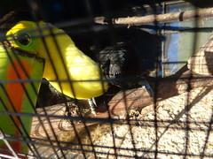 (sftrajan) Tags: bird yellow garden toucan guatemala amarillo exotic caged tropical aviary pajaro oiseau avian vogel panajachel pjaro uccello tucano  tucn ramphastidae hotelatitlanbotanicgarden