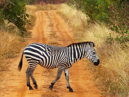 Spotted zebra - rare find!