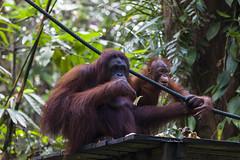 Orang Utan Delima mit Baby Selina, Semenggoh Wildlife Centre, Sarawak, Borneo / Malaysia (anschieber | niadahoam.de) Tags: borneo 2012 orangutans borneanorangutan menschenaffen 201203 sarawakmalaysia borneoorangutanpongopygmaeus babiesjungtiere semenggohorangutanrehabilitationszentrum orangutanssemenggoh