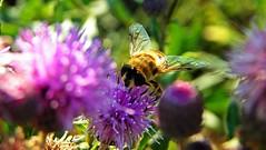 393macro (Hegyaljai Imre) Tags: macro insect makro insekten rovar makr rovarok hegyaljaii