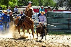 0SC_9087 (Paulo McIver) Tags: wild horses festival cowboys fairground rodeo cowgirls wildhorses monaro snowymountains highcountry horseman bronko cooma snowyriver southeastaustralia australianalps paulmciver saddlebronk bushracing southeastnsw southeastnewsouthwales australianalpshorses coomarodeo2014