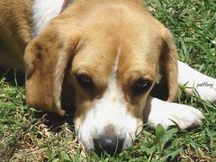 My baby Beagle Coco (pat.bluey) Tags: flowers beagle australia coco newsouthwales blacktown 1001nights mygarden mydog flickraward 1001nightsmagiccity handganimalsonly hennysanimals sunrays5