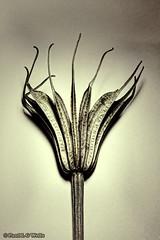 _MG_0912_247#365 (plw1053) Tags: blackandwhite bw macro monochrome closeup project milk flora grain faded seedhead 365 toned vignette tamron90mm project365 canon600d