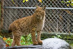 lynx (Cloudtail the Snow Leopard) Tags: zoo karlsruhe tier animal mammal säugetier katze cat luchs karpartenluchs lynx cloudtailthesnowleopard