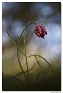 Fritillaire Pintade - Fritillaria Meleagris