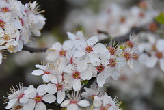 Flowering plum flower (ngawangchodron) Tags: white canada flower tree bc victoria vancouverisland floweringplum yyj
