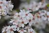 Flowering plum flower (ngawangchodron) Tags: white canada flower tree bc victoria vancouverisland floweringplum yyj