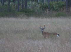 Buck in Grass (tclaud2002) Tags: camera grass woods florida young looks buck sweetbay palmbeachcounty naturalarea