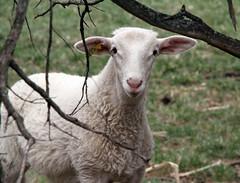Framed (baalands) Tags: tree hair spring sheep branches twin pasture lamb dairy katahdin ewe lacaune