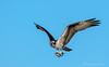 Dinner Time (Amy Hudechek Photography) Tags: fish dinner colorado flight raptor osprey happyphotographer highlinelake amyhudechek
