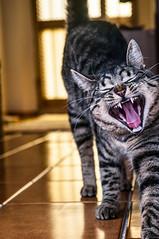 ETTORE YAWNS (Federico Violini) Tags: ettore cat yawn gatto tuscany toscana italia italy wakeup svegliarsi animal pet cucciolo ector friend amico sbadiglio nikon d300 little