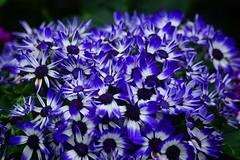 DSC06932 (Rays style) Tags: 花 flower 紫