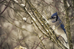 Keeping Watch (flashfix) Tags: february052017 2017 2017inphotos nikond7000 nikon ottawa ontario canada 55mm300mm snow fallingsnow trees branches bluejay nature mothernature portrait bokeh winter birdphotography