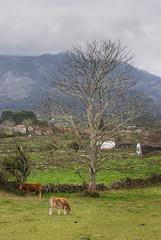 El Árbol y las vacas (Oscar F. Hevia) Tags: árbol vacas invierno verde montaña nubes paisaje tree cows winter green mountain clouds landscape laisla asturias asturies colunga españa paraisonatural principadodeasturias spain