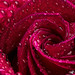 "Dewy Red Rose Macro • <a style=""font-size:0.8em;"" href=""http://www.flickr.com/photos/124671209@N02/32713057274/"" target=""_blank"">View on Flickr</a>"