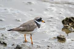 Chorlitejo grande (sergio estevez) Tags: aves agua arena color desenfoque espuma estrechodegibraltar fauna nikonafs300mmf4 luz playa pajaros palmones naturaleza rio desembocaduradelriopalmones sergioestevez