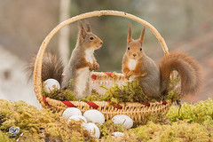 basket with squirrels (Geert Weggen) Tags: red nature animal squirrel rodent mammal cute look closeup stand funny bright sun backlight winter snow eyes hypnosis staring watching contact each up seat picnic food dinner breakfast meal easter holiday egg basket smile happy two couple pair together geert weggen hardeko bispgården ragunda jämtland sweden