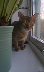 Pebbles in the Window 3 (peter_hasselbom) Tags: cat cats abyssinian sorrel red female window windowsill pottedplant pot plant fern leafs fujifilm