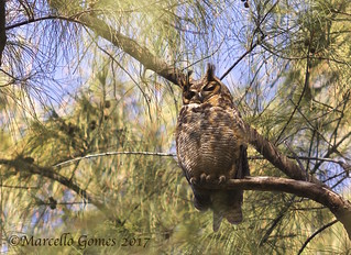 Great Horned Owl (Bubo virginianus) GHOW - Barely Awake After a Night Out Chasing Rodents