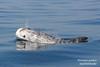 Risso's dolphin (Mar Ilimitado, Sagres) Tags: rissosdolphin dolphin cetaceans marinewildlife algarve sagres portugal marilimitado água mar oceano sea water ocean cetaceos grampo golfinho vidamarinha