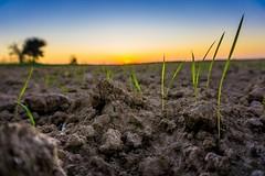 New Rice at Sunset (jciv) Tags: rice farm farming dirt soil field
