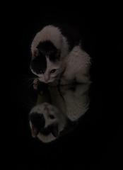 (raimundl79) Tags: wow cat katz katze katzenaugen tamron2470mm nikon nikond800 reflection spiegelung photographie portrait image austria österreich vorarlberg fotographie explore entdecken exploreme flickrr flickrexploreme foto lightroom ländle likeforlike