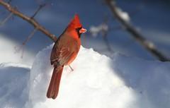 Cardinal Rouge /  Northern cardinal (ricketdi) Tags: cardinalrouge northerncardinal cardinaliscardinalis explore01avril2017no13 ngc coth5 npc
