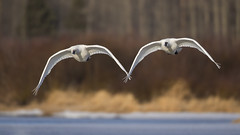 Trumpeters Flying Hand-in-Hand? (Jeff Dyck) Tags: trumpeter swan trumpeterswan cygnusbuccinator vanderhoof britishcolumbia riversidepark nechako nechakoriver birds roost pair couple jeffdyck