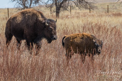April 2, 2017 - A bison calf and its mother out for a stroll. (Tony's Takes)