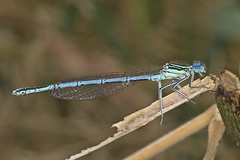White-legged Damselfly (Chris J Upson) Tags: whiteleggeddamselfly canon macro eastanglia