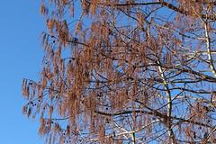 Metasequoia glyptostroboides-08 (The Tree Library (TreeLib.ca)) Tags: metasequoiaglyptosroboides dawnredwood metasequoiaglyptostroboides