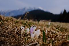 Krokusse (Oberau-Online) Tags: geroldsee krokusse